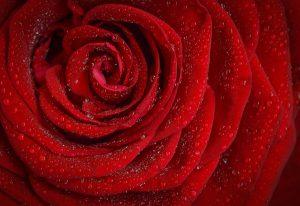"""Hochzeitslieder """"The Rose"""""""